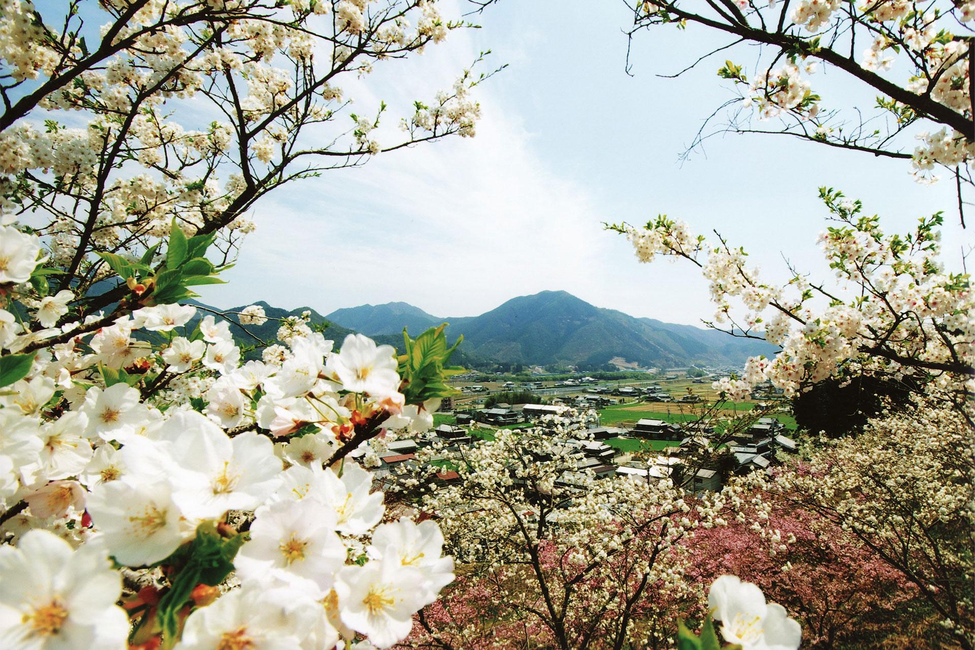 桜の山 桜華園